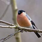 Male Bullfinch by Peter Stone
