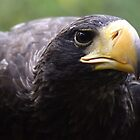 Wind beneath my wings - stella sea eagle by Sandra O'Connor