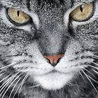 Silver Tabby Cat by simpsonvisuals