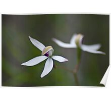 Hooded Caladenia Poster