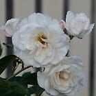 Rose by Debra LINKEVICS