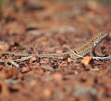 Military Dragon (Ctenophorus isolepis), Tanami Desert, Central Australia by sahoaction