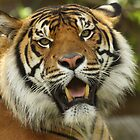 Bengal Tiger by Steve Bullock
