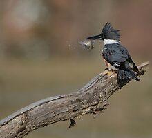 Belted Kingfisher - Stoney Creek Ontario, Canada by Raymond J Barlow