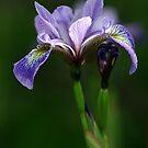 Iris by Debbie Pinard