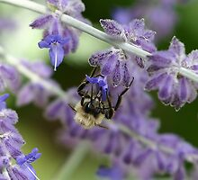 Bee on Lavender - Dunrobin Ontario by Debbie Pinard