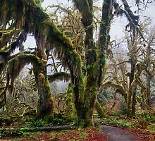 Hall of Mosses - Hoh Rainforest, Olympic N. P. by Mark Heller