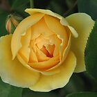 Yellow rose by Daphne Gonzalvez