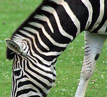 Zebra by Joanne Emery