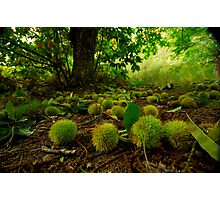 Chestnuts all over the path Photographic Print