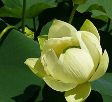 Lotus flower, Botanic Gardens, Brisbane by krista121