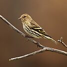 Pine Siskin by Bill McMullen