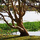 Lake Ainsworth Paperbark by Odille Esmonde-Morgan