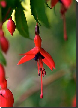 Single Wild Fuchsia Flower, Loch Na Fooey by George Row