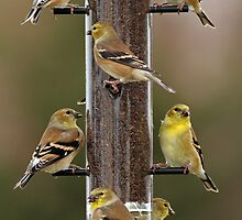 Finch Feeding Frenzy by Bill McMullen