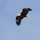 Bald Eagle in Flight by Megan Noble