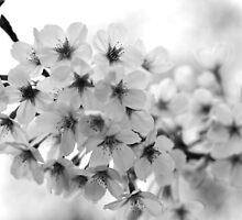 Cherry Blossom - Melbourne Botanic Gardens by petejsmith
