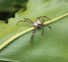 St Andrews Cross Spider by kyle coffee