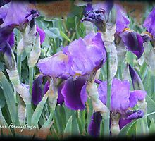Irises by Chris Armytage™