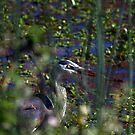 Great Blue Heron by flyfish70