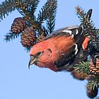 White-winged Crossbill. by Daniel Cadieux