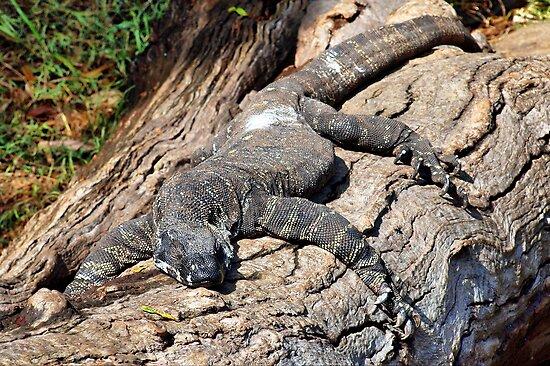 Iguana - Guana - Goanna by Clive
