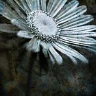 Aster on Rock by onyonet photo studios