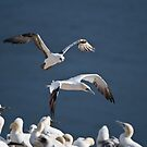 Northern Gannet in Flight 2 - Newfoundland, Canada by Raymond J Barlow