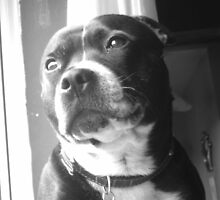 Staffy Bailey by Sam Adele Haggan