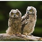Great Horned Owlets - Simcoe Ontario, Canada by Raymond J Barlow