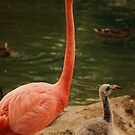 Momma and Baby flamingo by jeanlphotos