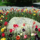 Tulip Ring Around the Rock by RoyceRocks