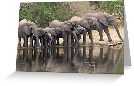 Breeding elephant herd taking a family drink! by jozi1