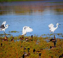 Egrets Landing by Tam Ryan