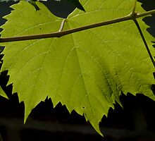 Grape leaf by Rodney Wratten