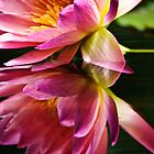 reflection of a pink water lily by Gerry Daniel