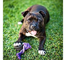 Molly the Staffordshire Bull Terrier Photographic Print