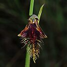 Calochilus therophilus by Colin12