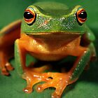 Graceful Treefrog, Lota, Brisbane by Robert Ashdown