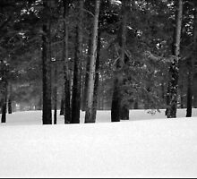 Snow-covered pines. by germt