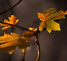 MAPLE AUTUMN LIGHT by Sandy Stewart