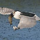 Black-crowned Night Heron - Hamilton, Ontario, Canada by Raymond J Barlow