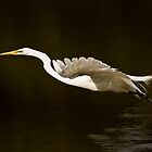 Great Egret Takeoff by onyonet photo studios
