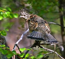 Ruffed Grouse - Bonasa umbellus by amontanaview