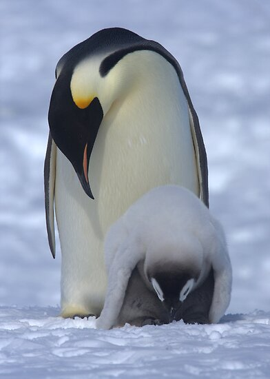 Emperor Penguin and Chick by Steve Bulford
