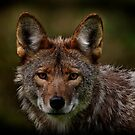 Coyote Portrait Reworked by Michael Cummings