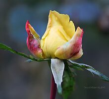 Yellow Rose Bud by Terry Aldhizer