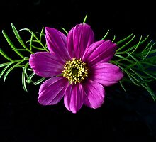 Cosmos Bipinnatus by Tom Newman