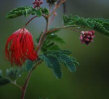 Mimosa by Tam Ryan