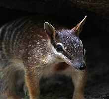 Numbat Patrol by EnviroKey
